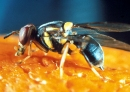 New move against Queensland fruit fly